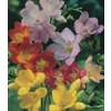 Garden Club Select 40-Count Freesia (Mixed) Bulbs