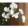 Gubler Phalaenopsis Orchid (L20963hp)