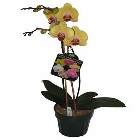 Gubler 1.56-Quart Moth Orchid in Planter