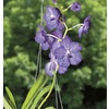 Gubler 1.25-Quart Vanda Orchid (L20978Hp)