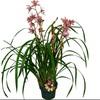 Gubler 1.5-Quart Cymbidium in Planter (Orchid)