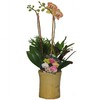 1.5-Pint Moth Orchid in Planter