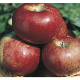3.8-Gallon Cortland Apple (L6120)