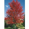 8.99-Gallon Autumn Blaze Maple (L1123)