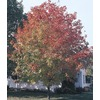 8.9-Gallon Fall Fiesta Sugar Maple (LW02874)