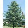 8.99-Gallon Pin Oak (L1097)