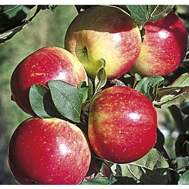 3.8-Gallon Zestar Apple Tree (L24037)