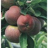 3.84-Gallon Red Delicious Dwarf Apple Tree (L1320)