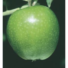 3.84-Gallon Granny Smith Apple Tree (L3198)
