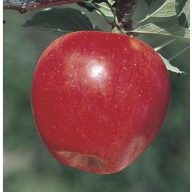 3.84-Gallon Gala Apple Tree (L4520)
