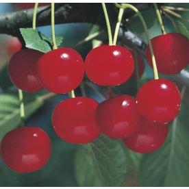 3.84-Gallon Montmorency Cherry Tree (L1400)