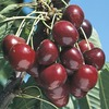  3.84-Gallon Stella Cherry (L10481)