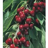  3.84-Gallon North Star Cherry (L4546)