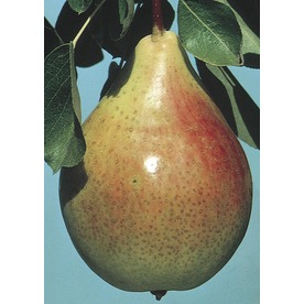 3.84-Gallon ClappS Favorite Pear Tree Tree (L6896)