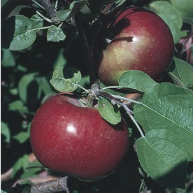 3.8-Gallon Haralson Apple Tree (L4221)