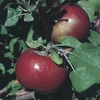 3.8-Gallon Haralson Apple (L4221)