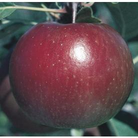 3.84-Gallon Fuji Apple Tree (L10470)