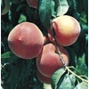 3.84-Gallon Early Elberta Peach (L1331)