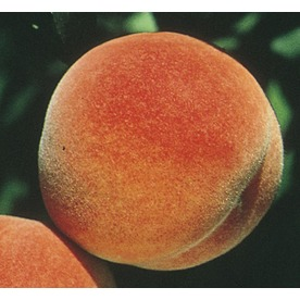 3.84-Gallon Red Haven Peach Tree (L1342)