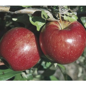  3.8-Gallon Sweet Sixteen Apple (LW02664)