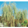 3.25-Gallon Shoestring Acacia (L9438)