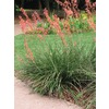 10.25-Gallon Red Red Yucca Feature Shrub (L7029)