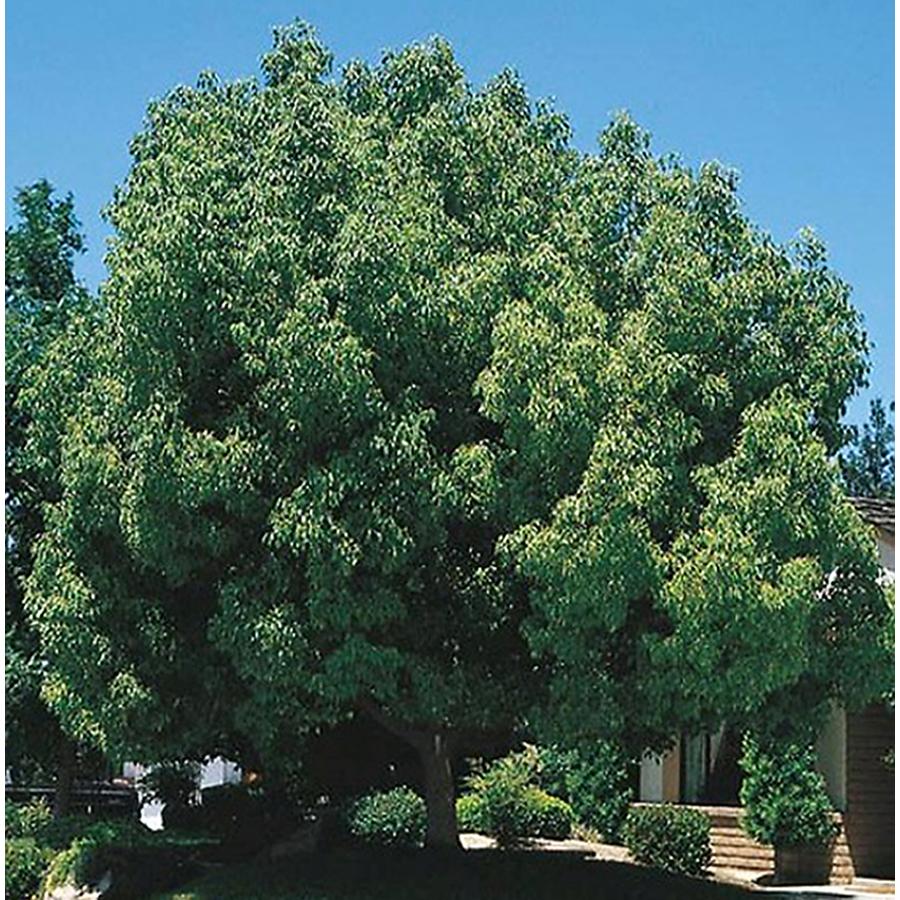 Shop 10.25-Gallon Camphor Tree (L9393) at Lowes.com