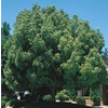 10.25-Gallon Camphor Tree (L9393)