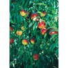  3.25-Gallon Desert Delight Nectarine (L14935)