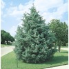  2.5-Quart Arizona Cypress Tree (L5089)
