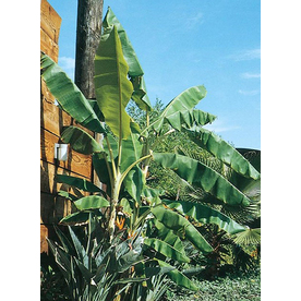13-Gallon Banana Small Fruit (L4349)