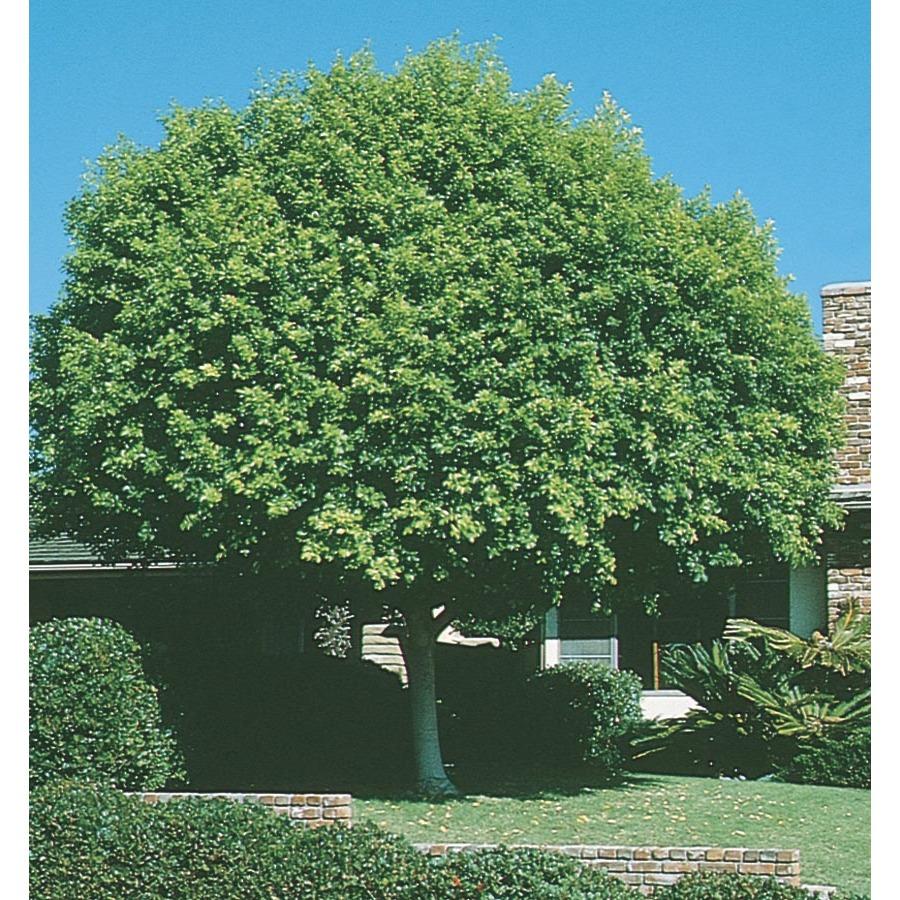 Shop 3.25-Gallon Indian Laurel Tree (L14192) at Lowes.com