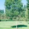 10.25-Gallon Raywood Ash Tree (L3493)