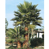 19.5-Gallon Mexican Fan Palm (L3048)