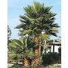 19.5-Gallon Mexican Fan Palm (L3048)