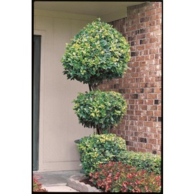 10.25-Gallon White 3-Tier Poodle-Waxleaf Ligustrum (L7134)