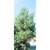 10.25-Gallon Eldarica Pine (L5148)