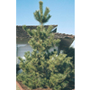  2.5-Quart Japanese Black Pine (L1060)