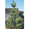 2.5-Quart Japanese Black Pine (L1060)