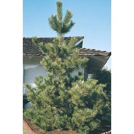 10.25-Gallon Japanese Black Pine (L1060)