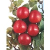 3.25-Gallon Satsuma Plum (L10491)