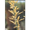  3.25-Gallon Yellow Sun Yucca (L14912)