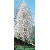 3.25-Gallon Aristocrat Flowering Pear (L1396)