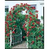  1.5-Gallon Climbing Rose (L10152)