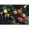 10.25-Gallon Marina Strawberry Tree (LW02095)