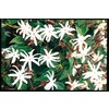 10.25-Gallon Star Jasmine (L8609)