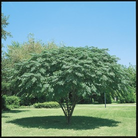Shop 10.25-Gallon Texas Umbrella Tree (L7407) at Lowes.com
