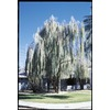 3.25-Gallon Weeping Acacia Tree (L14867)