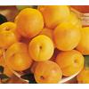 3.25-Gallon Gold Kist Apricot Tree (L20398)
