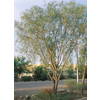 3.25-Gallon Willow Acacia (L7642)
